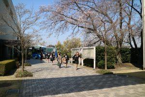 桜の咲く中での登校